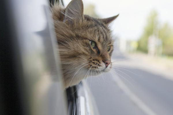 how to calm a cat in a car when traveling