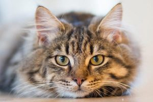 How to Prevent Hairballs in Cats