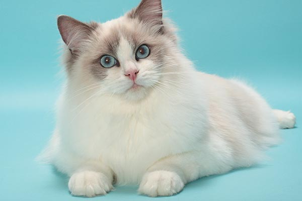 Great Cat Breeds to Pick If You Live in an Apartment