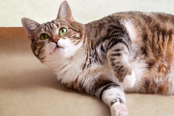 Weight loss in cats