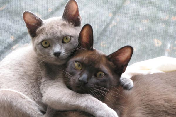 Affectionate Cat Breeds