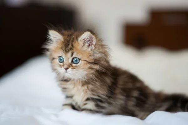 Friendliest Cat Breeds