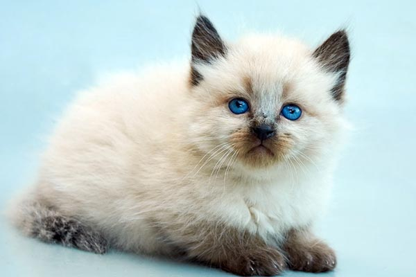 Top 7 Hypoallergenic Cat Breeds That Don T Shed Traveling With Your Cat
