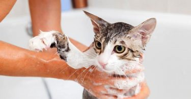 how to bathe a cat with fleas