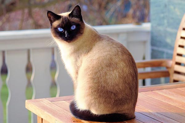 Siamese Cat Price How Much Does It Cost To Take Care Of A Siamese Traveling With Your Cat
