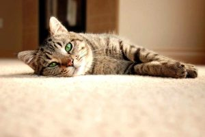 Reasons Your Cat is Peeing on Your Carpet