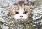 breeds of cats that like water