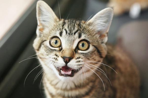 cat keeps meowing in hotel