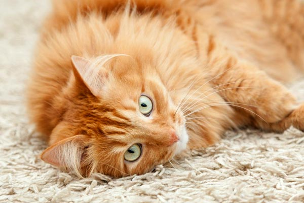 how to clean dried cat urine from carpet