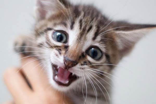 what does it mean when a cat purrs loudly