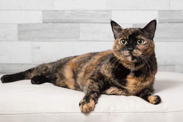 How Long Do Tortie Cats Live Traveling With Your Cat