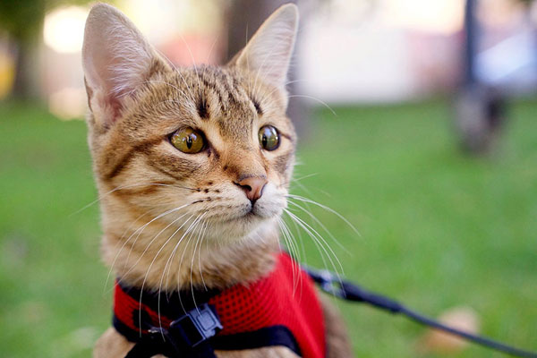 best cat harness for walking