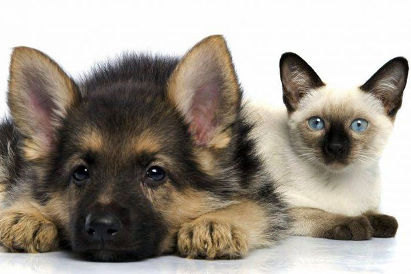 german shepherd and cats