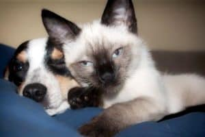 Do Siamese Cats Get Along With Dogs