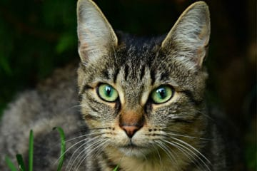 why do some cats have notched ears
