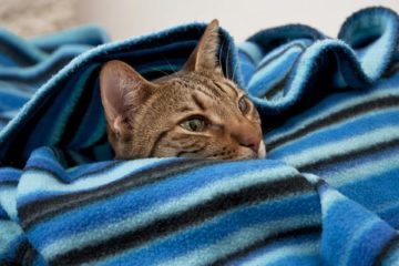 Why Do Cats Burrow Under Blankets