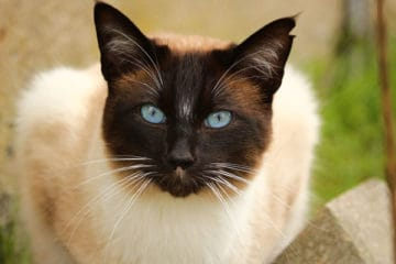 Do Siamese Cats Change Color