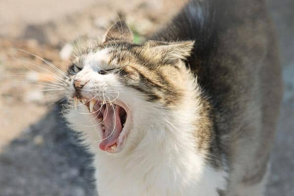 Why Do Cats Hiss