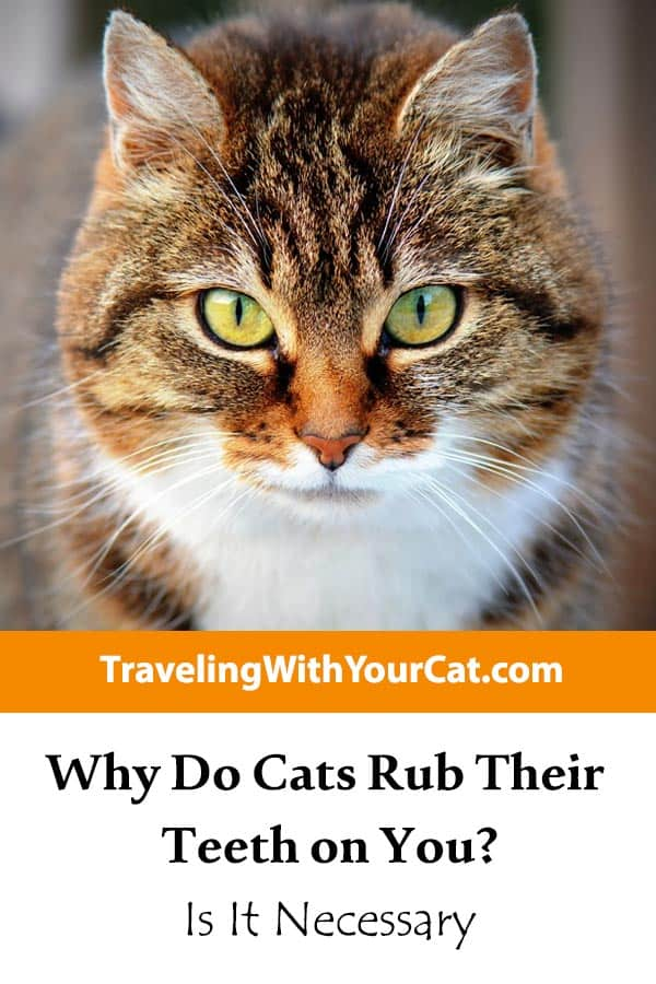 Why Do Cats Rub Their Teeth on You