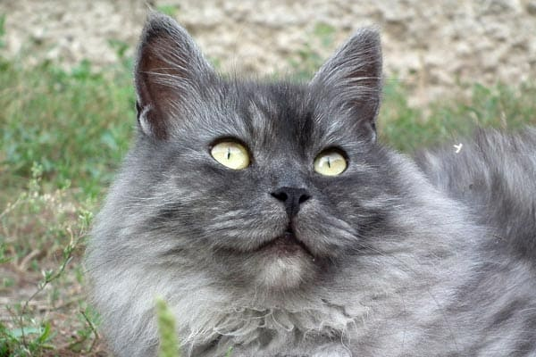 how much do siberian cats cost