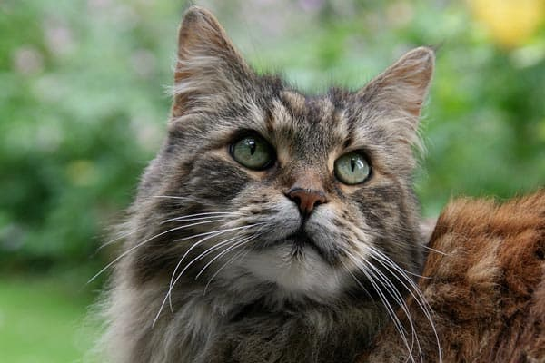 How Much Do Maine Coon Cats Cost